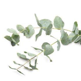 parfumsko-olje-evkaliptus